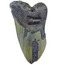 3/4 Megalodon tooth 12 cm