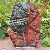Fossiele zeelelie - crinoid