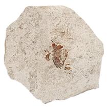 Fossil fish head