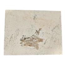 Fossiele vissenkop