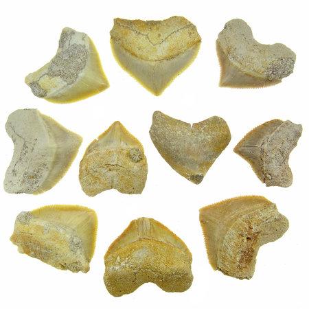 10 tanden van de squalicorax haai