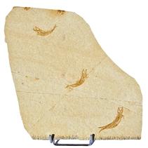 Fossiele plaat met 3 vissen, inclusief standaard