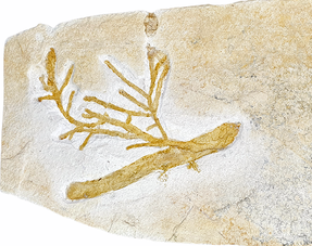 Fossiele plant