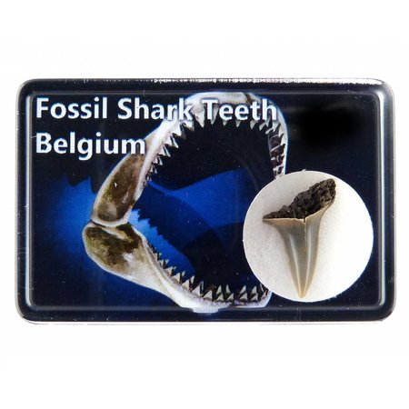 Fossil shark tooth in box