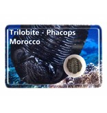 Trilobiet, Phacops in doosje