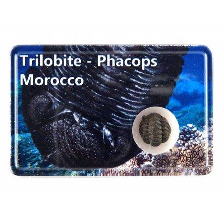 Trilobite, Phacops in box