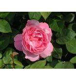 Mary Rose op stam 110 cm (kale wortel)