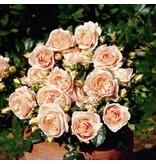 Marie Antoinette op stam 110 cm (kale wortel)
