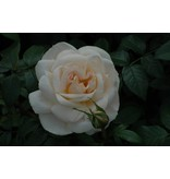 Lions Rose op stam 110 cm. (kale wortel)