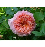 Abraham Darby (in pot 4 liter)