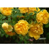 foetida Persian Yellow (in pot 4 liter)
