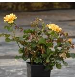 Amber Queen (in pot 4 liter)