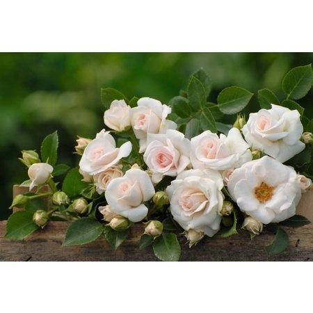 Aspirin Rose (kale wortel)