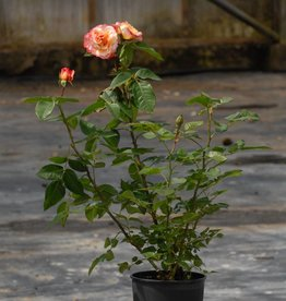 Augusta Luise (in pot 4 liter)