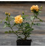 Bernstein Rose (kale wortel)