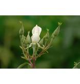 Clematis Rose (Kale wortel)