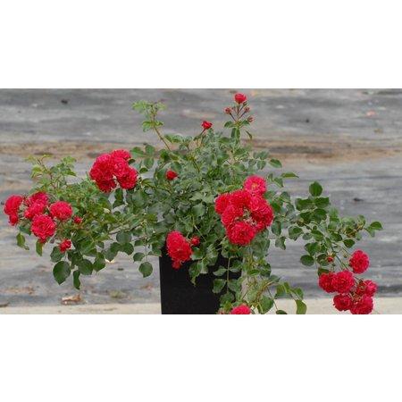 Gärtnerfreude (in pot 4 liter)