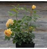 Golden Celebration (in pot 4 liter)