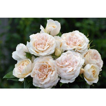 Lions Rose (kale wortel)