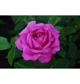 Reine des Violettes (in pot 4 liter)