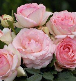 Eden Rose (in pot 4 liter)