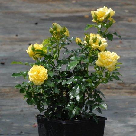 Loredo (in pot 4 liter)