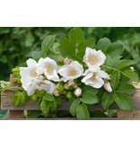 rugosa 'Alba' (in pot 4 liter)
