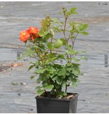 Rumba (Kale wortel)