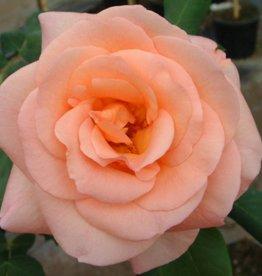 Apricot Nectar (In pot 4 liter)