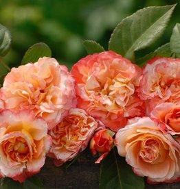 Augusta Luiseop stam 110 cm. (kale wortel)