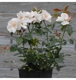 Pearl Drift op stam 110 cm (kale wortel)