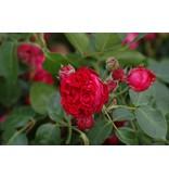 Red Eden Rose op stam 140 cm (kale wortel)