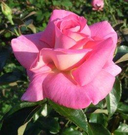 Clg. Parfum Royal (in pot 4 liter)