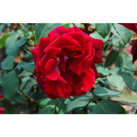 Clg. Crimson Glory (in pot 4 liter)