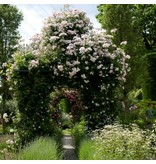 Scarman's Himalayan Musk (in pot 4 liter)