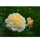 Crocus Rose op stam in pot 110 cm.