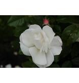 Pearl Drift op stam in pot 110 cm.