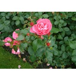 Play Rose op stam in pot 110 cm.
