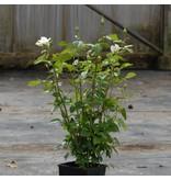 Pascali op stam in pot 110 cm.