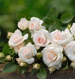 Aspirin Rose op stam in pot 110 cm.