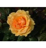 Amber Queen op stam in pot 60 cm.