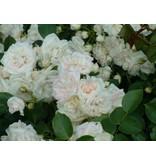 Aspirin Rose op stam in pot 60 cm.