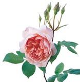 William Morris op stam in pot 110cm.