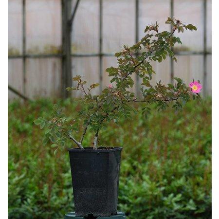 rubrifolia Carmenetta (in pot 4 liter)