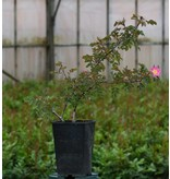 rubrifolia Carmenetta (Kale wortel)