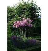 Lavender Dream op stam 110 cm. (Kale wortel)