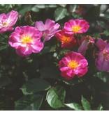 Lavender Dream op stam in pot 110 cm.