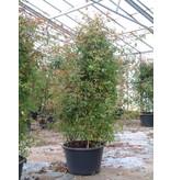 Mutabilis op stam in pot 110 cm.