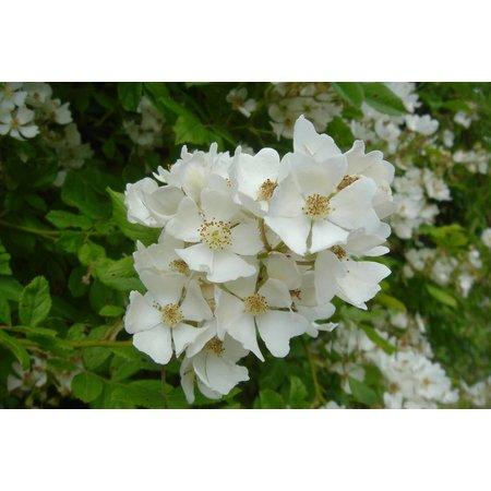 Rosa multiflora (in pot 4 liter)