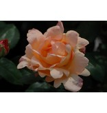 Apricot Nectar op stam in pot 80 cm.